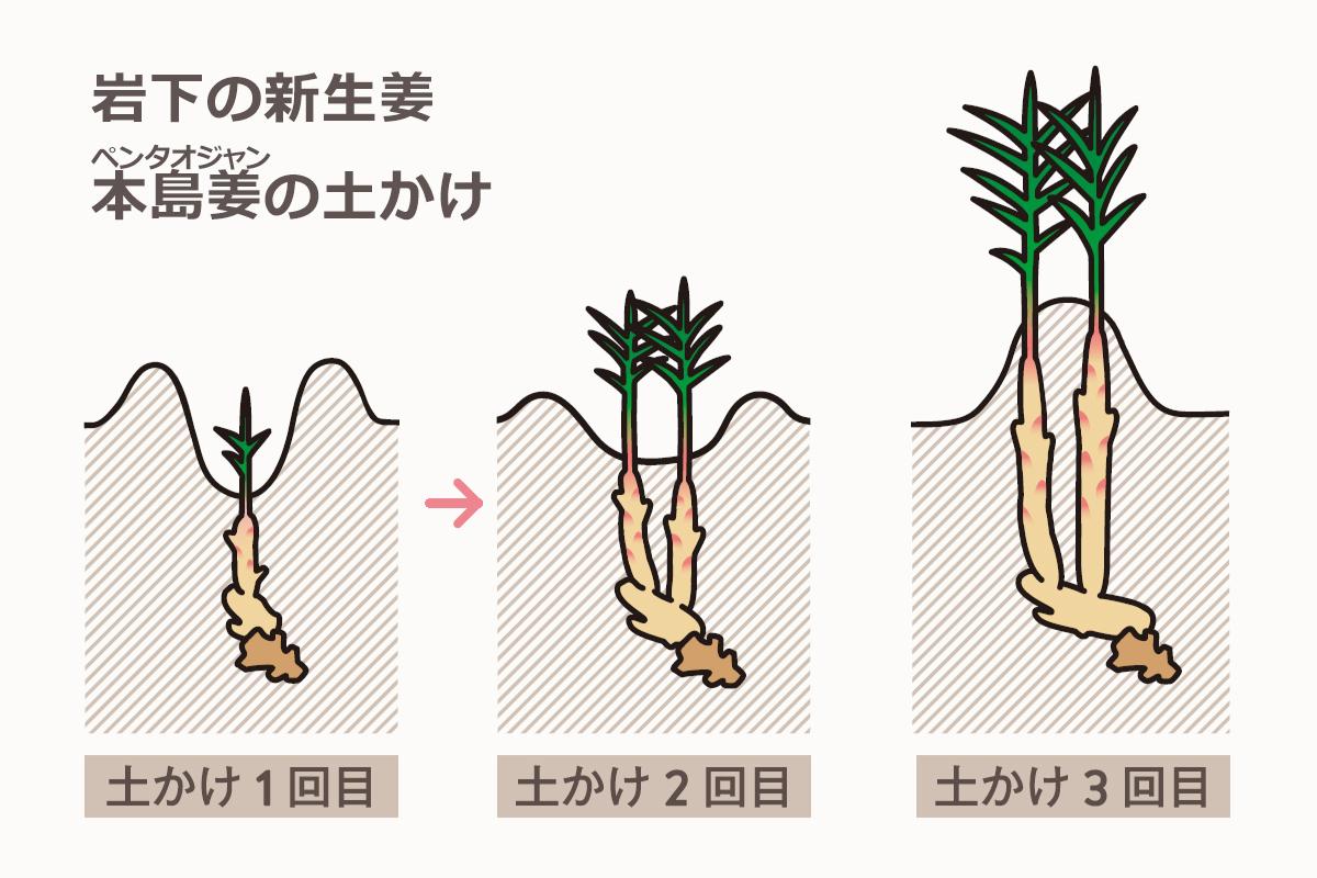 岩下の新生姜 本島姜(ペンタオジャン)の土かけ